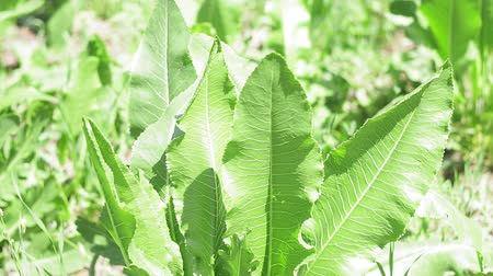 rusticana : green leaves of horseradish plant growing