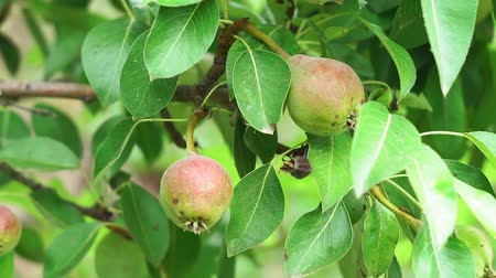 pereira : pears on a tree close-up in the garden Stock Footage