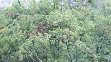 fennel : blooming dill plant close up