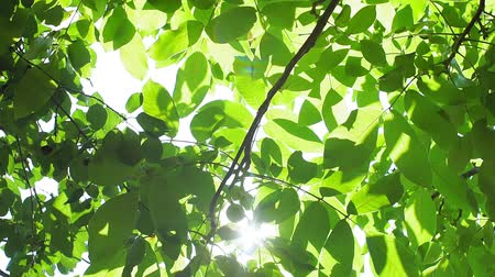 orzech : suns rays Shine through the green foliage of the walnut tree in summer.
