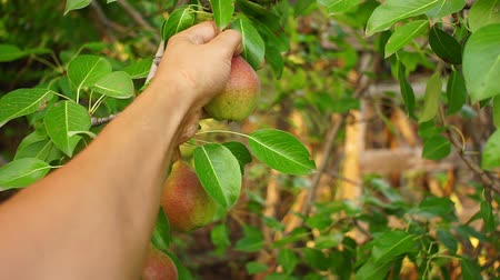 plucks : farmers hand is harvesting pears. plucks organic fruit from a tree Stock Footage