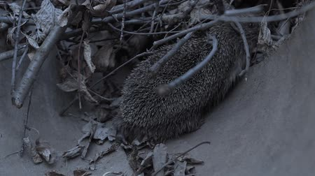 주둥이 : hedgehog in the wild. Hedgehog in the nature