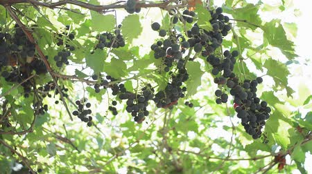 vinná réva : bunches of black grapes in the vineyard. organic fruit growing grapes for juice and wine