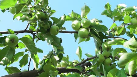 občerstvení : Apple trees in an orchard with ripe apples ready for harvest. organic fruit, green apples