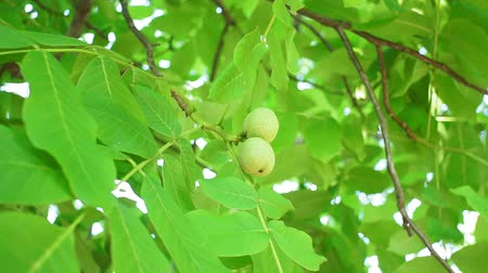 növénytan : walnut tree, fresh green walnut, walnut on tree. tree nut farming Stock mozgókép