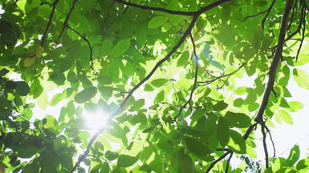 orzech : walnut tree, the rays of the bright sun Shine through the green leaves in summer. the concept of summer, nature