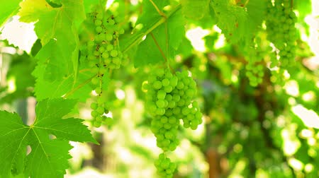 vinná réva : Ripe Grapes Vineyard Autumn. Ripe Grapes On The Vine For Making Red Or White Wine. Countryside Beautiful Vineyards.
