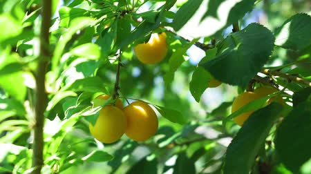 morele : yellow plums on a tree branch in the garden. growing ecological fruits, natural summer garden