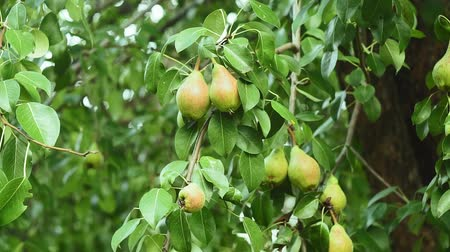 pereira : crop of pears in the garden, ripe fruit hanging on the tree, pear closeup, green leaves, background