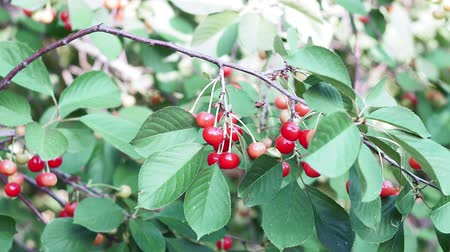 ハング : ripe red cherries on tree branches. spring just before harvest in plantation