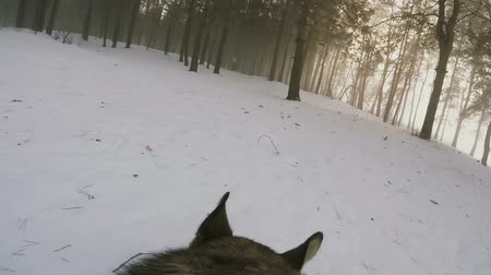 Dog running through the snow in winter forest with action camera Gopro