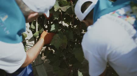 Grape harvest. Closeup of human gathering grapes Stok Video