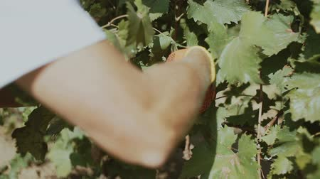 Grape harvest. Closeup of human hands gathering grapes