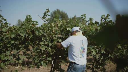 Worker cutting the best red wine grapes from the plant, wide angle shot