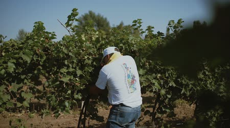 competition in the grape harvest