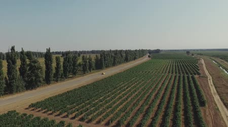 Aerial flight over beautiful vineyard landscape. Yelow car running near the grape field