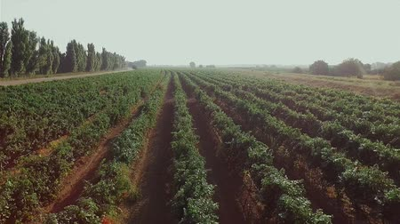 Aerial flight over beautiful vineyard landscape in the morning Stok Video