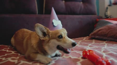 corgi with a birthday party hat on it.Dog birthday party.
