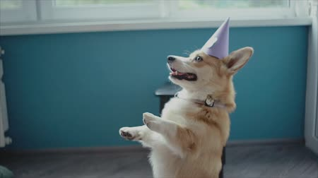 obediente : corgi with a birthday party hat on it.Dog birthday party.
