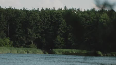 ridibundus : Slow motion: gull fly over the pine forest.Gull fly over the water.A lake in the pine forest.
