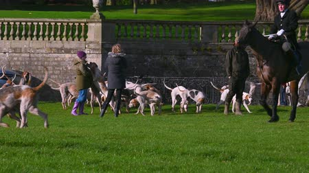 język angielski : Aske Hall, Richmond, North Yorkshire, UK - February 08, 2020: A pack of English Foxhounds waiting for the fox hunt to begin