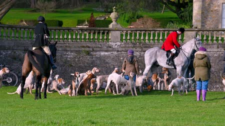caça : Aske Hall, Richmond, North Yorkshire, UK - February 08, 2020: Pack of English Foxhounds waiting for the fox hunt to begin. Gathered in front of stone wall and traditional Georgian country house gardens Vídeos