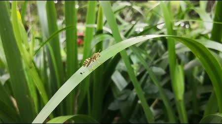 Slow motion footage of a yellow jacket wasp with black stripes perched and walking over a green large leaf with nature background. Hymenoptera, winged insect. Stock Footage