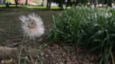 Beautiful dandelion flower with white fluff moving slowly by the wind in a garden