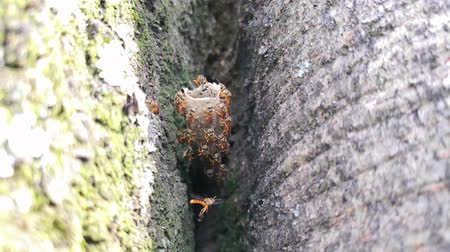 Specimens of Tetragonisca angustula, stingless bees flying and living inside a wax tube nest or beehive