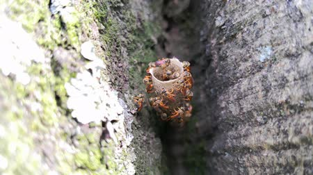 okřídlený : Close up of stingless bees building their amazing wax tubular nest in community. Tetragonisca angustula species.