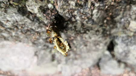 okřídlený : Top view of a bee nest made of resins and wax. Stingless bees come and go covered in pollen and others help to build the nest. Eusocial community of these winged insects of the neotropics. Beautiful yellow color and animal life of the Tetragonisca angustu