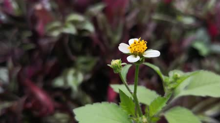 Beautiful detail of a Bidens pilosa flower with white petals and yellow center. Prairie with purple leaves background. Stock Footage