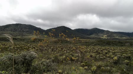 Windy and cloudy day in the paramo of the Purace National Natural Park in Colombia. Vegetation in the Andean mountains, including mosses and frailejones (Espeletia). Cold weather in the Neotropics.