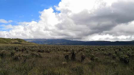 américa central : Purace National Park in Colombia. Ecosystem of paramo, high mountain in the Neotropics. Plants like the frailejon and mosses serve as a source of water. Area protected by endemic biodiversity.