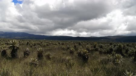 Frailejones, Espeletia, in the Purace paramo in Colombia. Great plants, endangered by climate change and endemic from this neotropical high mountain ecosystem Stock Footage