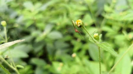 Large mosquito perched on a yellow wild flower Stock Footage