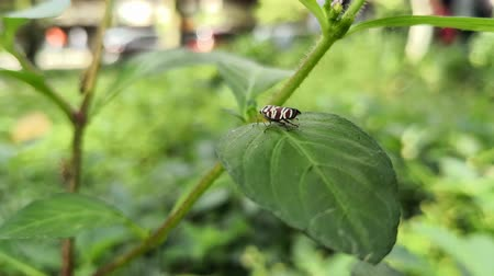 Small reddish brown insect with white stripes on a green leaf of a wild plant. Park with people walking background. Stock Footage