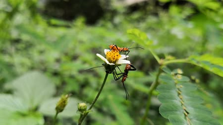 Detail of a nymph and a young adult, two stages of the early life cycle of the insect Oncopeltus fasciatus, known as large milkweed bug. Beautiful orange insects with black legs, antennae and spines, covered with yellow pollen. They inhabit a wild flower  Stock Footage