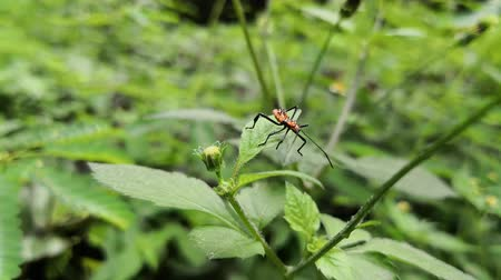 Orange bug with black spots and spines on the body. Located on top of a green leaf.  Long antennas and limbs. Stock Footage