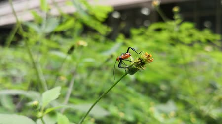 энтомология : Small orange insect with black spines on a wild flower in a garden