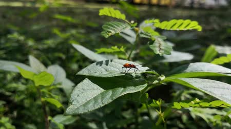 Nymph of large milkweed bug. Orange animal on a green leaf. Sunny day in the park. Stock Footage