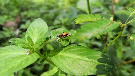 Small nymph of large milkweed bug in a thicket. Beautiful orange insect walking through the leaves while receiving the wind.