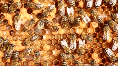grzebień : Bees take care of their offspring. They cool the cocoons, which are larvae. Wideo