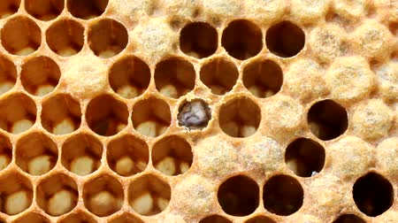 nascimento : Young bees bite cover cocoon and comes out.