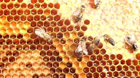 instincts : Bees are protected from attack Fall in bee hives penetrate others who have to be thrown out.