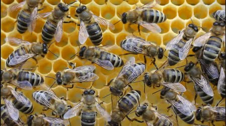 pszczoła : Bees convert nectar into honey and cover it in honeycombs. Wideo