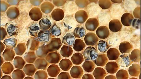 pszczoła : Birth of bee. Bees are expanding holes in cocoons for free exit out of them. Wideo