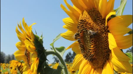 pszczoła : Bees collect nectar and pollen from flowers of sunflower.