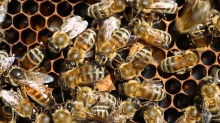 grzebień : Queen bee is always surrounded by the workers bees -Queen bee lays eggs in the cell. their servant.