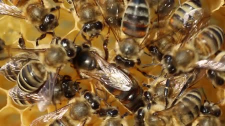 grzebień : Queen bee lays eggs in the cell. Wideo
